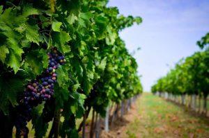 украинские виноградники